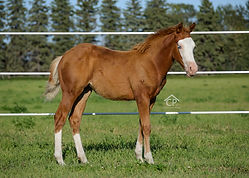 2020 AQHA Sorrel Splash white 2Filly