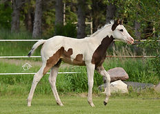 Black Tobiano Splash White 1 filly