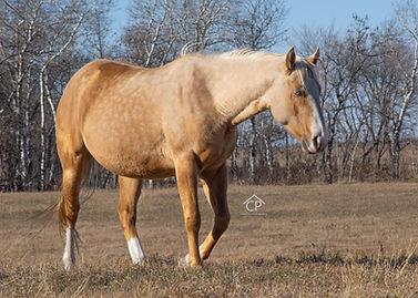 palomino splash white 2 mare