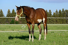 Bay Splash white Overo filly