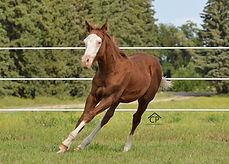 AQHA Sorrel Splash White Colt for sale
