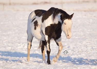 black splash white 1 farme overo mare dazzling deluxe