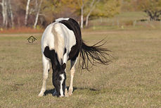 Black tobiano Filly