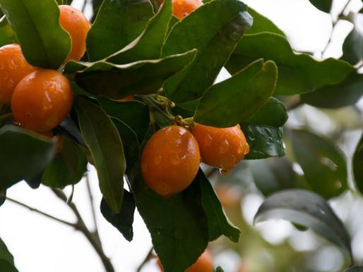 Kumquat | Corfu