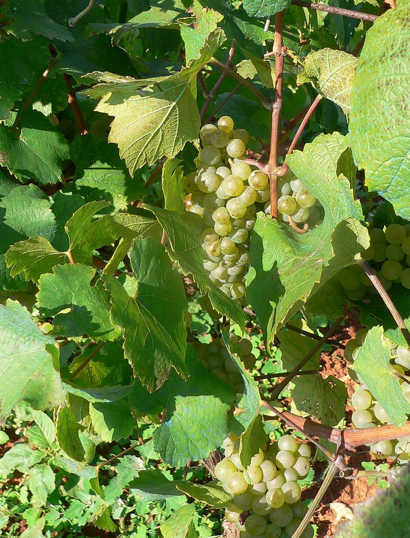 Malvasia Wine Grapes