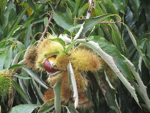 Melivia Chestnuts   Delta Pineios Kissavos