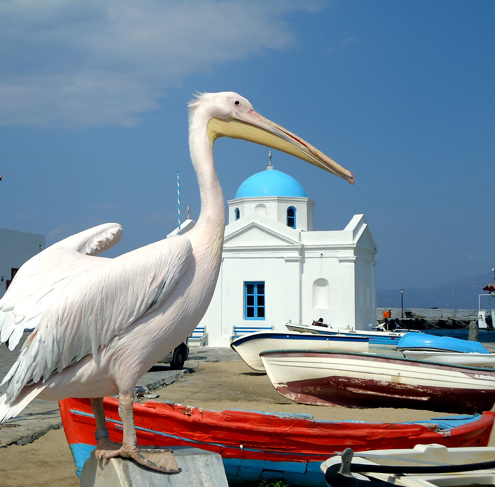 Mykonos Pelicans | Top Experiences in Mykonos Greece