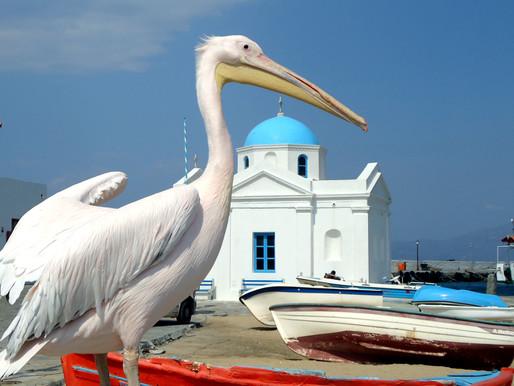 Pelicans of Mykonos