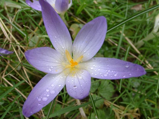 Krokos Kozanis (Saffron)