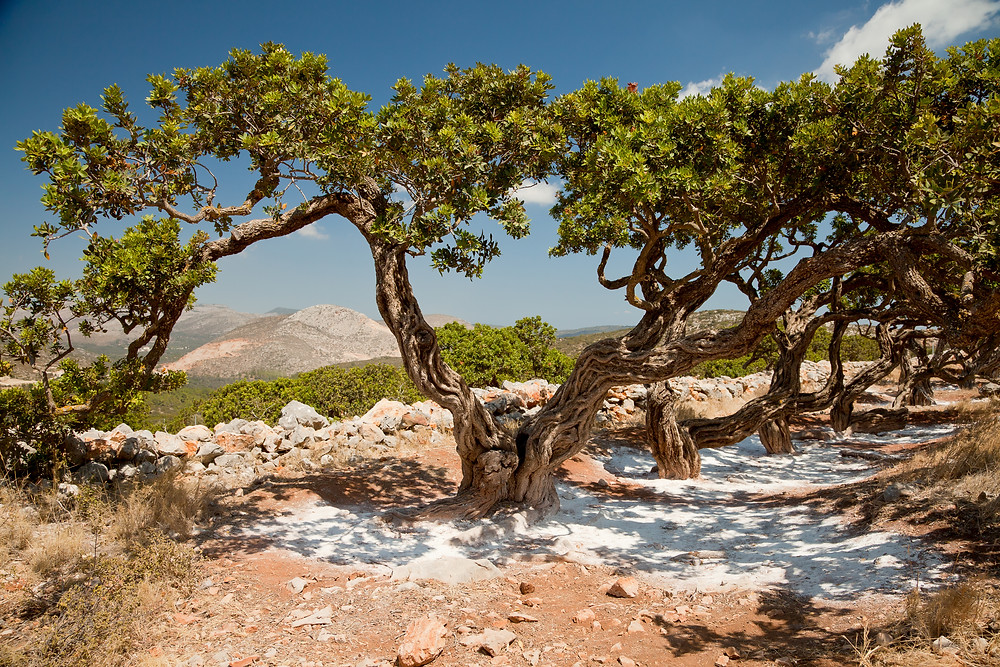 Mastic Tree | Chios | Best Experiences in Greece