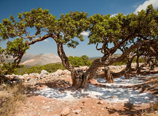 Mastic Tree | Chios