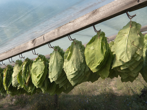 Basmas Tobacco | Xanthi Highlands