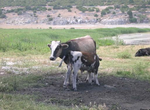 Dwarf Cows of Prespa Lakes