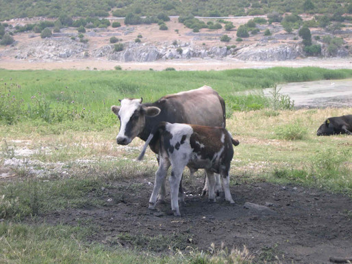 Dwarf Cows of Prespa Lakes