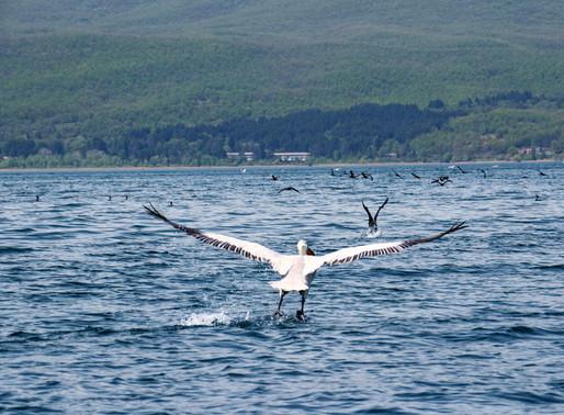 Dalmatian Pelican | Prespa Lakes