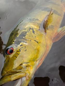 Pescaria de tucunaré em roraima (32)