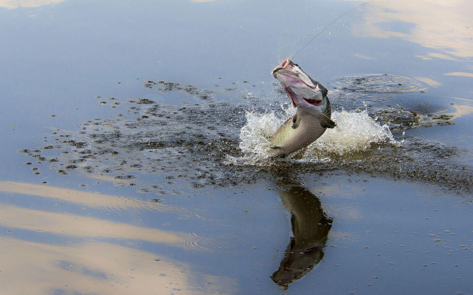 Pescaria-de-pirarucu-10