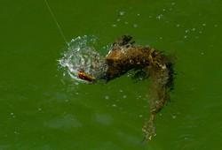 pescaria-de-trairão-suia-micu-17