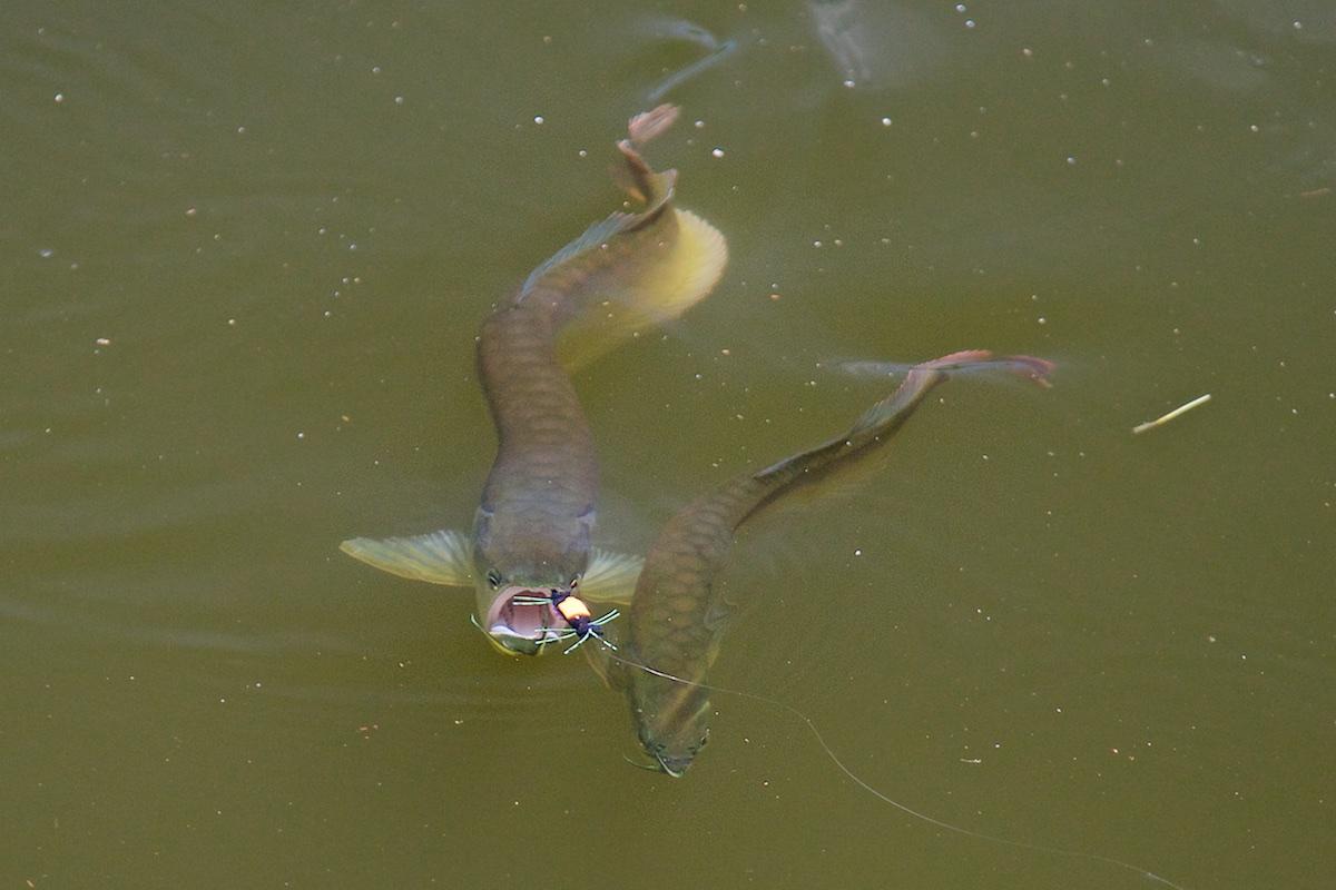 Pescaria-de-pirarucu (9)