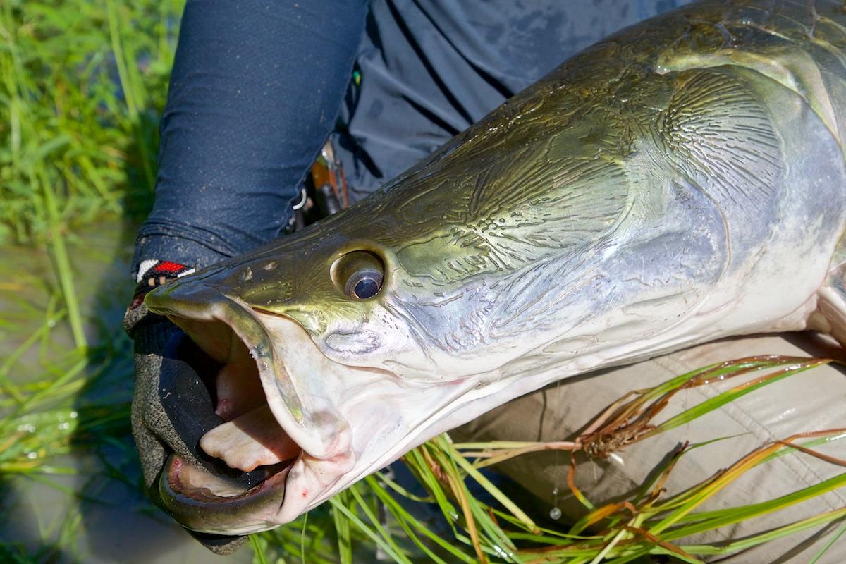 Pescaria-de-pirarucu (27)