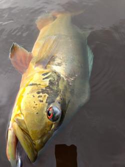 Pescaria de tucunaré em roraima (29)