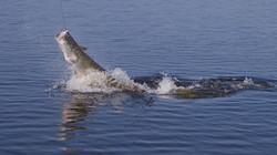 Pescaria-de-pirarucu (4)