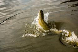 Pescaria-de-pirarucu-1