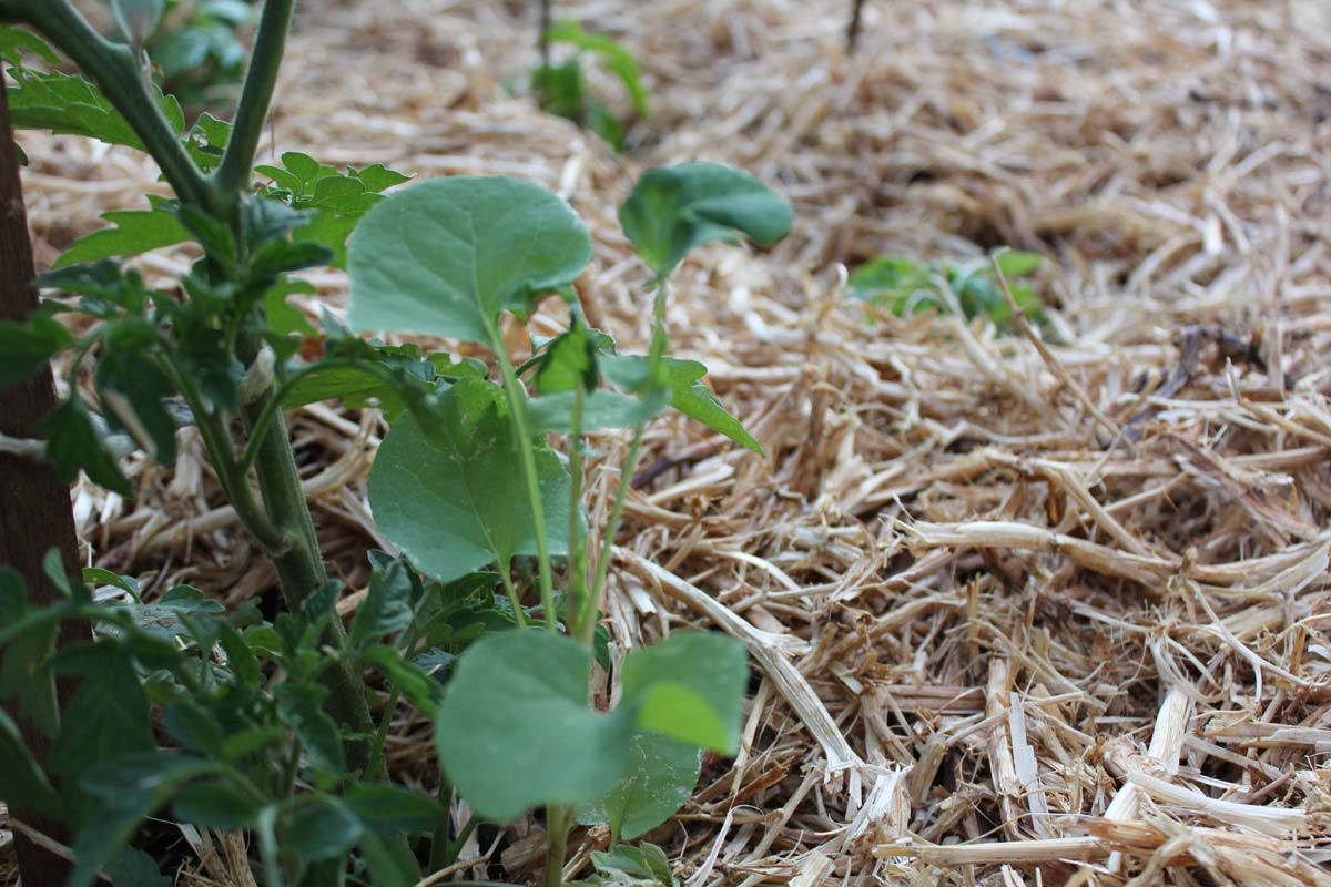 weed in veg garden
