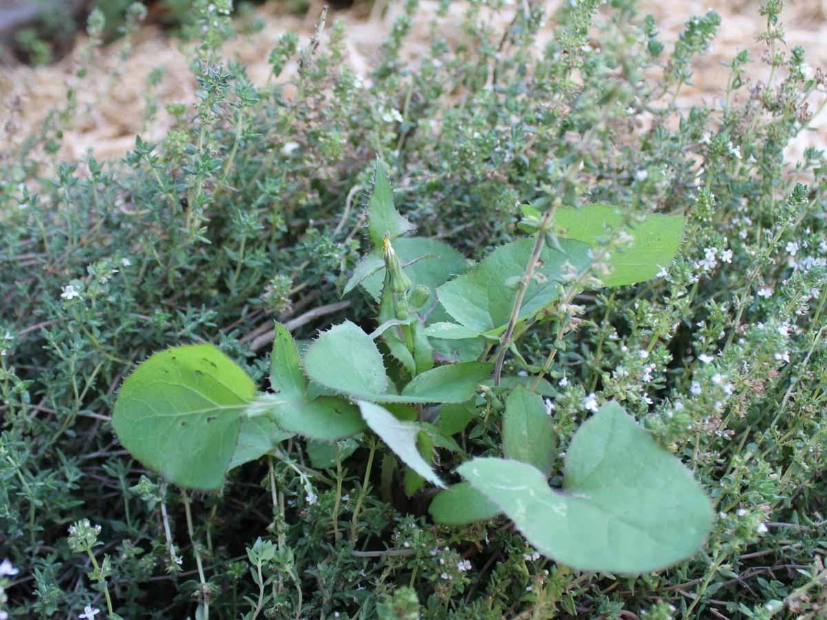 weed in herb garden