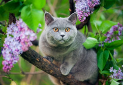 Shorthaired Cat