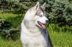 Siberian Dog 20162_edited