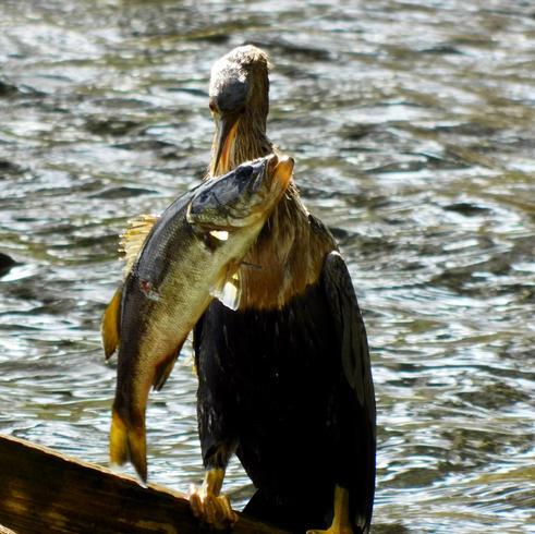 Fisherman catching its dinner