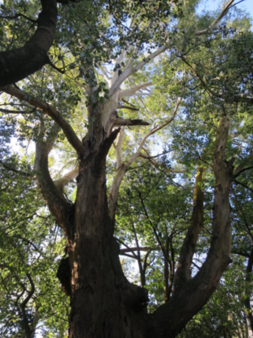 Un grand arbre majestueux qui a bien vécu- Marie-Rose Meysman conteuse