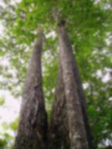 arbol castana 3.jpg