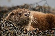 Visit Knoydart - Wildlife, Otter