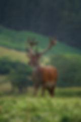 Visit Knoydart - Wlidlife, Red Deer Stag
