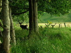 Stags in Inverie Woods
