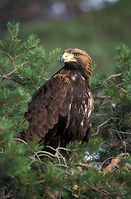 Visit Knoydart - Wildlife, Golden Eagle