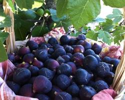 torres-novas-celebra-frutos-secos-e-figo-preto-em-outubro.jpg
