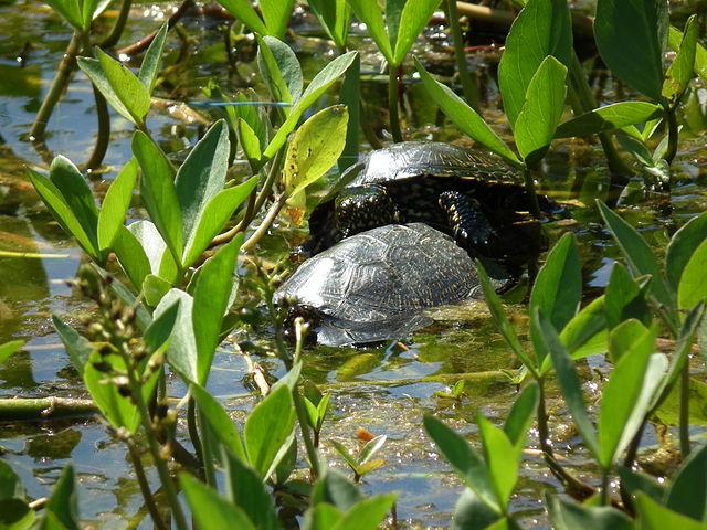 640px-Zwei_Wasserschildkröten.JPG