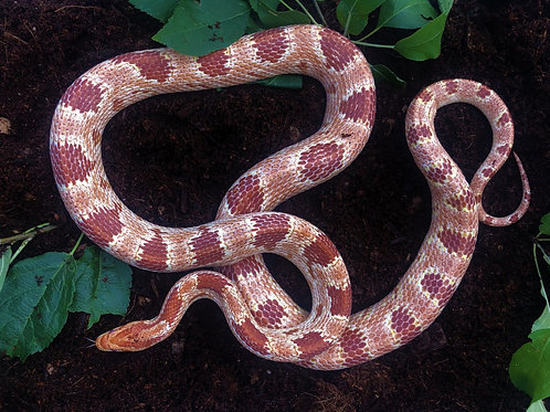 Albino Corn Snake (Amelanistic)