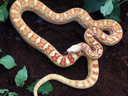 Sonoran Gopher Snake Albino