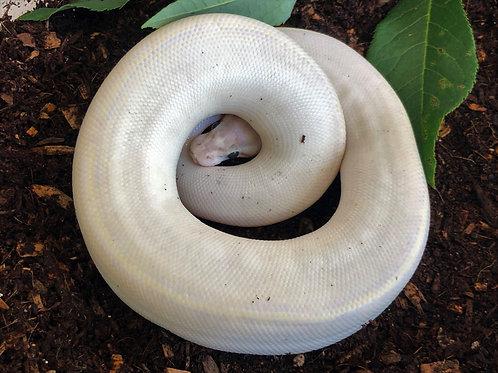Ivory Ball Python
