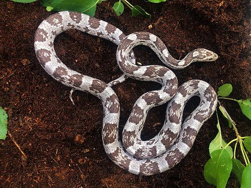 Axanthic Corn Snake