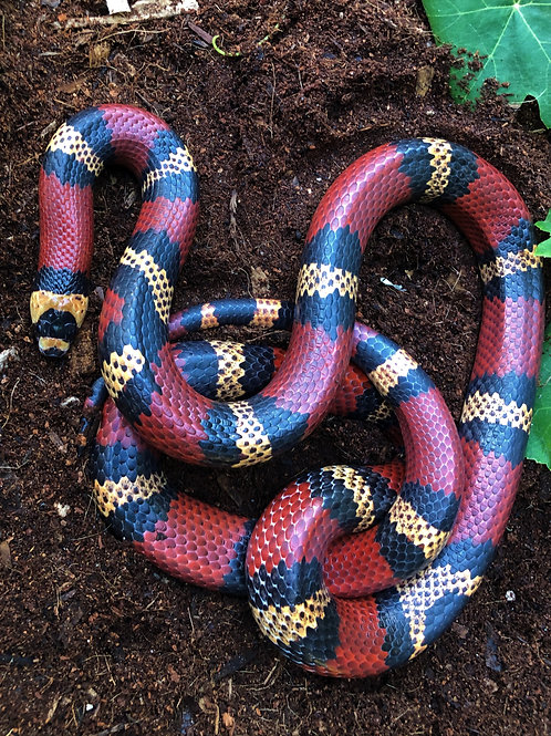 Honduran Tricolored