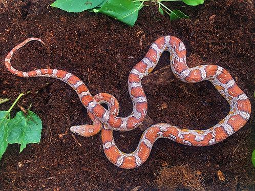 Normal Corn Snake