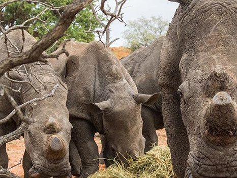 The Relationship Between Trophy Hunting and Conservation in South Africa