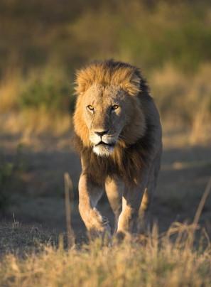 Male lion on Greater Kuduland Safaris
