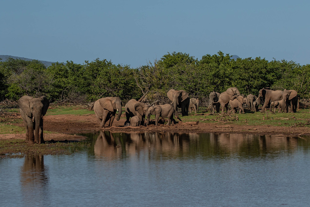 A herd of elephant at the waterhole on Greater Kuduland. A couple elephant can be seen mating in the background