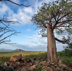 Baobab on Greater Kuduland Safaris